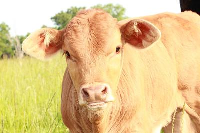 beigh calf