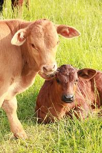 baby bull n calf