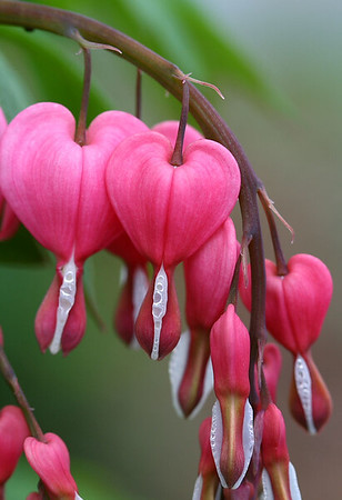 """Dicentra Spectabalis""  Selected Winner 5/11/2008 Category ""Flowers & Plants"" PhotographyVoice.com"