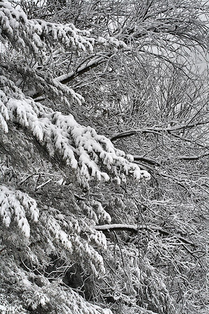 """Heavy With Snow""  Selected Winner 3/10/2010 Category ""Flowers, Plants &Landscapes"" PhotographyVoice.com"