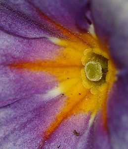 """Primrose Heart""  Selected Winner 4/16/2008 Category ""Macro:Bugs and Closeup"" PhotographyVoice.com"