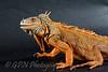 Izzy the Iguana