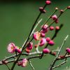 Plum Blossom (pt. 1)