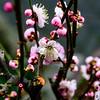 Plum Blossom (pt. 4)