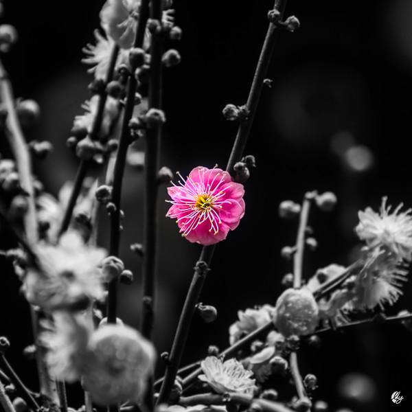 Plum Blossom (pt. 2)