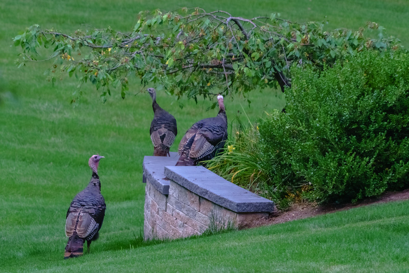 Urban Wild Turkeys in the Backyard
