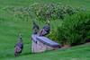 Urban Wild Turkeys in the Backyard