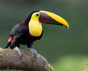 Yellow-throatedToucan