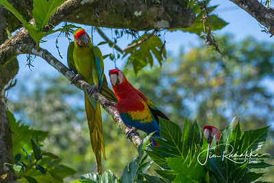 Scarlet Macaw, Great Green Macaw