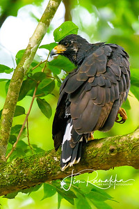 Common Black Hawk  Adult