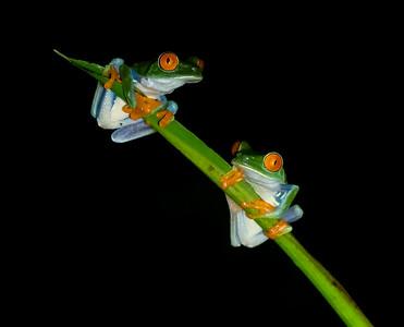 Red-eyed Leaf Frog