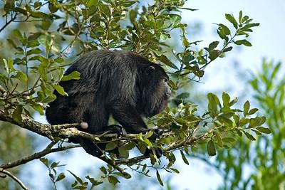 Howler Monkey,