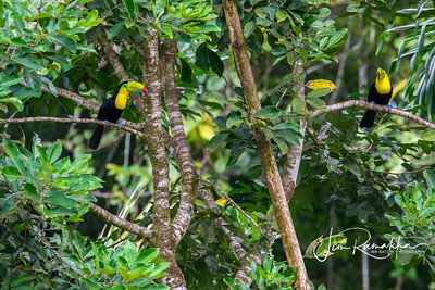 Keel-billed Toucan Welcoming Committee