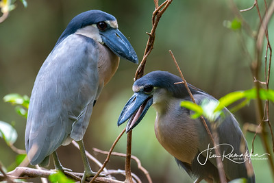 Boatbilled Heron