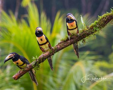 Collared Aracari Lineup