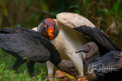 King Vulture and Black Vultures