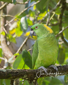 Yellow-napped Parrot