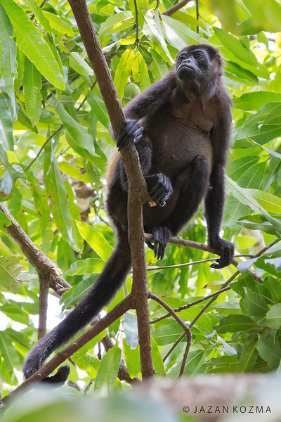 Female Mantled Howler Monkey
