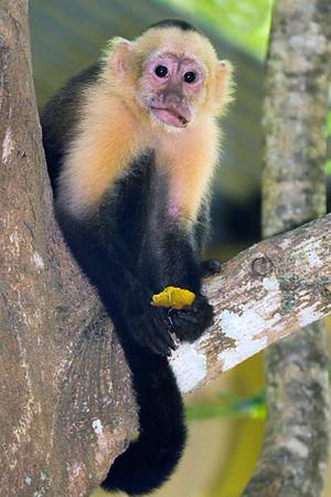 Capuchin with  papaya