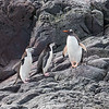 Gentoo and Chinstrap Penguins, Orne Island