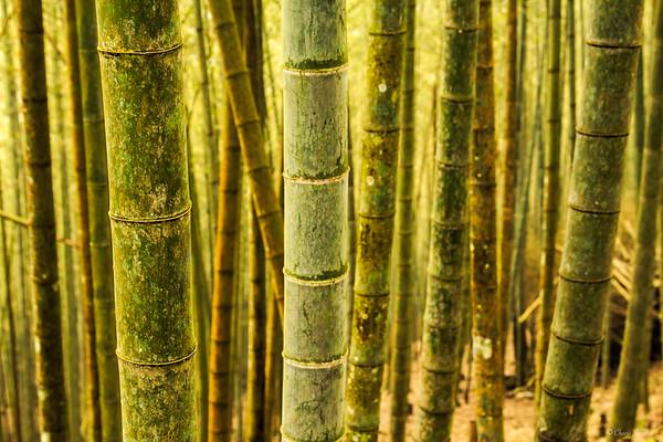 Bamboo Forest || Bosque de Bambú