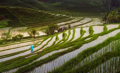 Indonesia gold light in the rice fields 7R21121