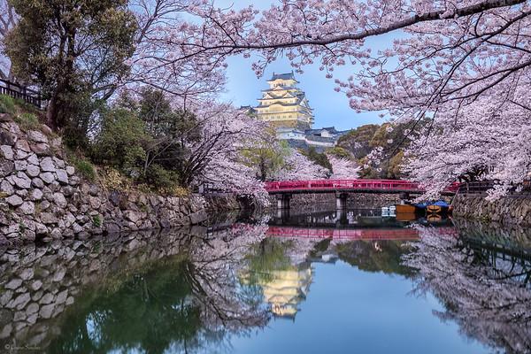 Dreamlike Sakura || Sakura de Ensueño