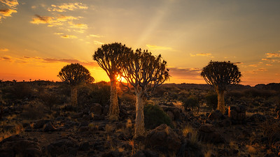 Quiver tree forest sunset 7R45746