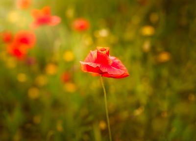 Catalunya Poppies light 7R27733