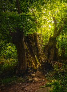 Catalunya Old Chestnuts Forest 7R27489