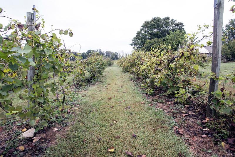 Chambourcin, vignoles, traminette, corot noir, noiret, catawba, diamond, pinot noir, frontenac, and St. Croix make up the grape varieties found in the Turtle Run Winery vineyard. 9/30/15