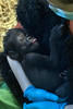 Kindi, the Louisville Zoo's newborn gorilla, clings to Michelle Wise during her first meeting with a larger audience on Wednesday morning. 4/20/16