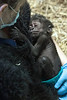 Baby gorilla Kindi snuggles tightly to a faux gorilla vest worn by Michelle Wise of the Louisville Zoo. 4/20/16