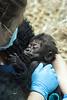 A look of contentment was on the face of baby gorilla Kindi as the Louisville Zoo unveiled her to the media on Wednesday. 4/20/16
