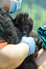 """The Louisville Zoo's newest addition was unveiled to the media and officially named on Wednesday. Born on March 14, 2016 the baby gorilla will be called """"Kindi"""" which is Swahili for squirrel. 4/20/16"""