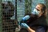 Michelle Wise of the Louisville Zoo cradles baby gorilla Kindi while her neighboring gorillas take much interest in the newborn. 4/20/16
