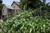 """Yew Dell Botanical Gardens in Crestwood has added a gourd garden complete with a """"fall display tunnel"""" that will feature a mix of ornamental gourds. 7/2/16"""