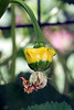 A crown of thorns gourd continues to grow after its bloom withers and gravity changes its upright position to one that dangles. 7/2/16