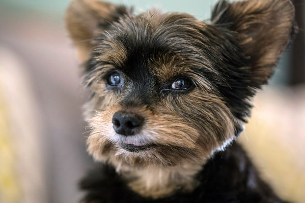 8-year-old Yorkshire Terrier Lulu flashes a smile for Stephanie Miller Slone during the photoshoot. 10/21/16