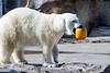 The Louisville Zoo's polar bear picks up a leftover Halloween pumpkin before smashing and consuming part of it on Saturday afternoon. 11/5/16