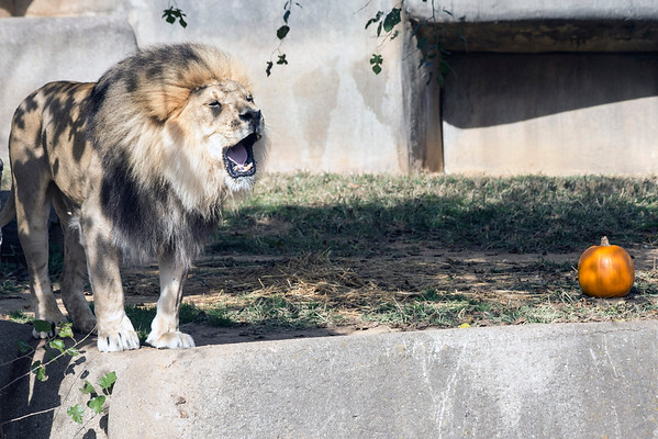 The lion at the Louisville Zoo roared at a large crowd assembled waiting to see what he would do with a leftover Halloween pumpkin on Saturday afternoon. 11/5/16