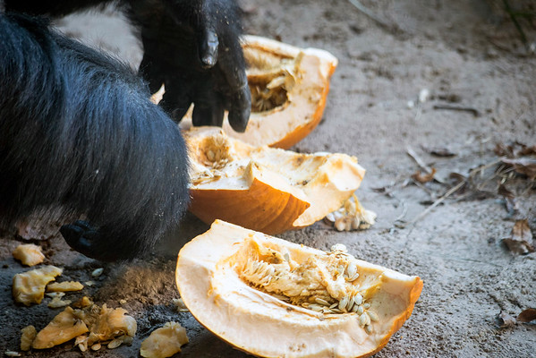 A gorilla forages through a leftover Halloween pumpkin on Saturday at the Louisville Zoo's annual pumpkin smash. 11/5/16
