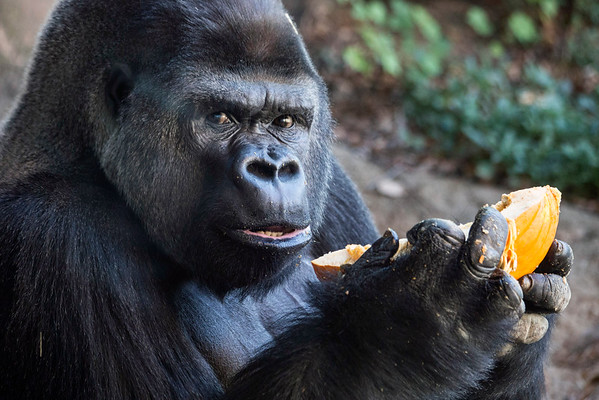The male gorillas at the Louisville Zoo were treated to leftover pumpkins from Halloween as part of the annual pumpkin smash event. 11/5/16