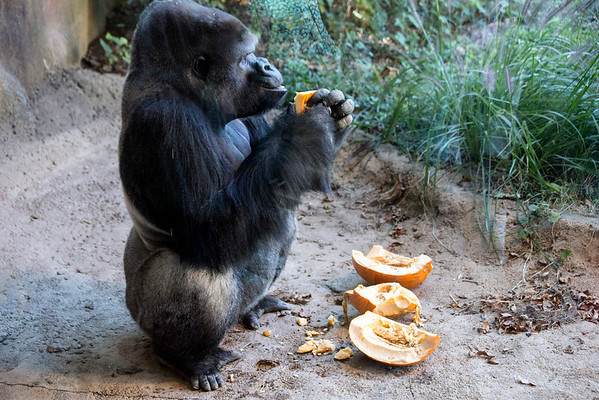 A pumpkin is destroyed and consumed by one of the gorillas at the Louisville Zoo on Saturday afternoon. 11/5/16
