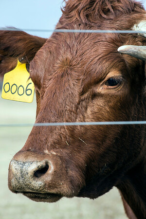 Beef cattle raised at Foxhollow Farm in Oldham County is grassfed for better quality. 12/22/16