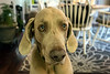Birdie the Weimaraner is very much in tune with the baking process of his owner Beth Schofield. 3/6/17