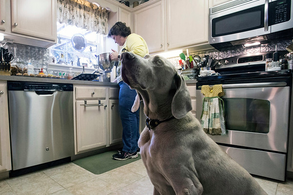 Birdie the Weimaraner stays in the kitchen as a batch of peanut butter pupcakes is prepared by owner Beth Schofield. 3/6/17