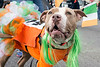 A terrier named Lady in Red donned some green for the annual St. Patrick's Parade on Saturday. 3/11/17