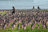 15,000 US flags were planted on the Great Lawn at Waterfont Park for the Memorial Day edition of the Hike, Bike & Paddle on Monday. 5/29/17