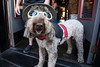 Bo the service dog played his part during the Highlands Festival reminding people that this year all donations were to benefit the animal service known as the Arrow Fund. 9/9/17